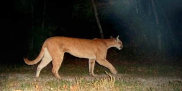 Onça parda (puma concolor) pega por armadilha fotográfica. Ela assusta e, por isso, é pouco popular. foto: ecotropica.org.br